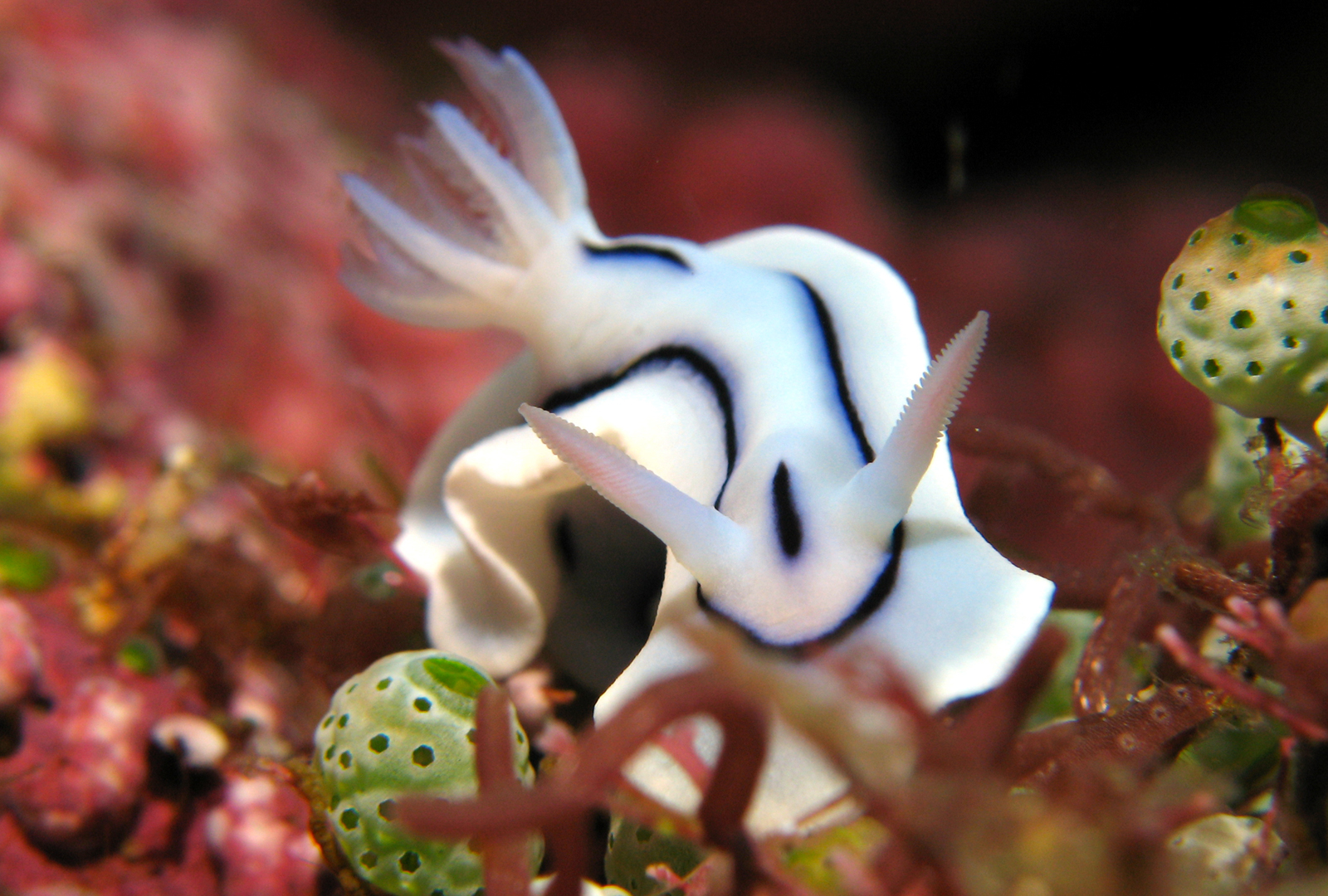 Eolie.  Nudibranch Chromodoris-lochi